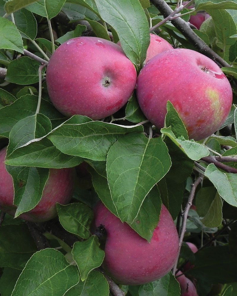 cortland apple malus domestica ftimg