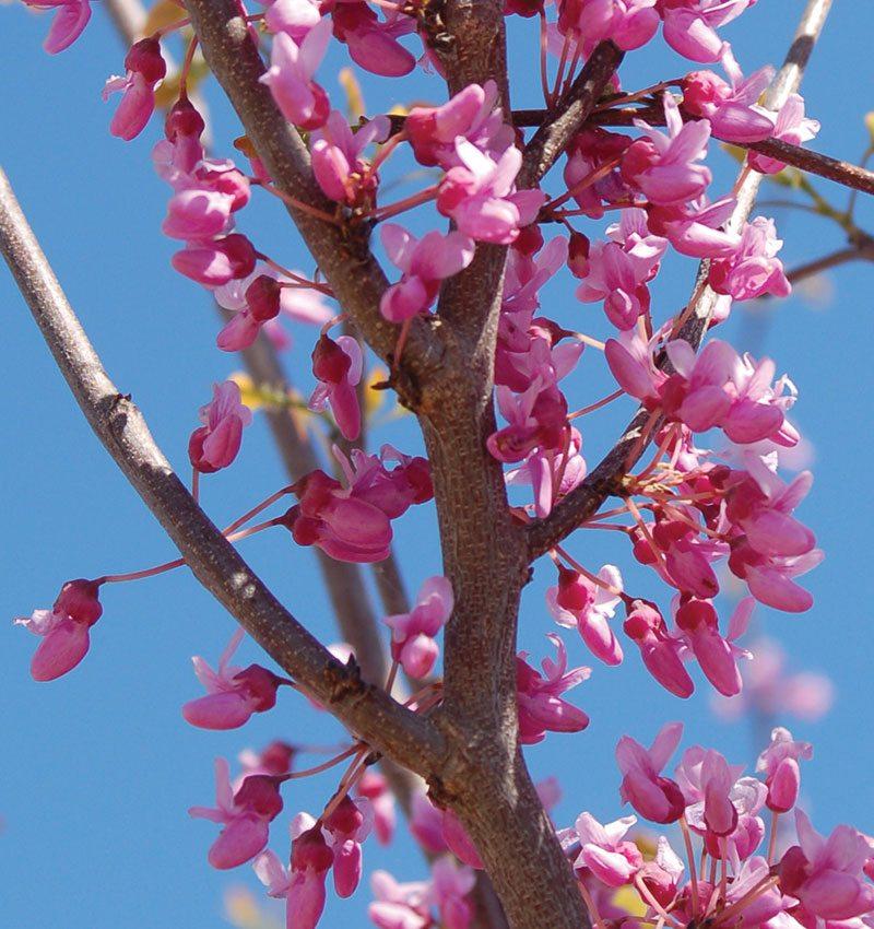 eastern redbud cercis canadensis ftimg