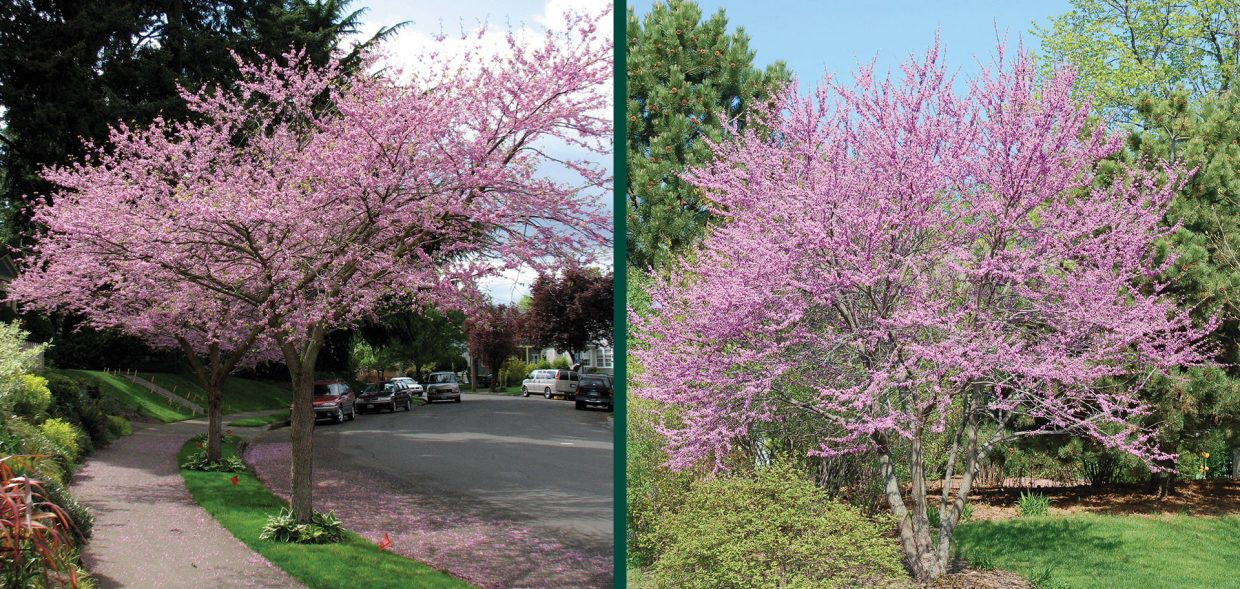 eastern redbud cercis canadensis