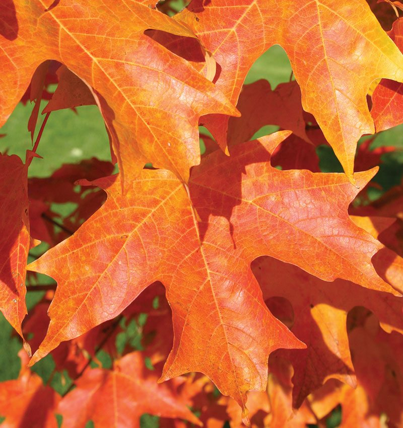 fall fiesta sugar maple acer saccharum bailsta ftimg