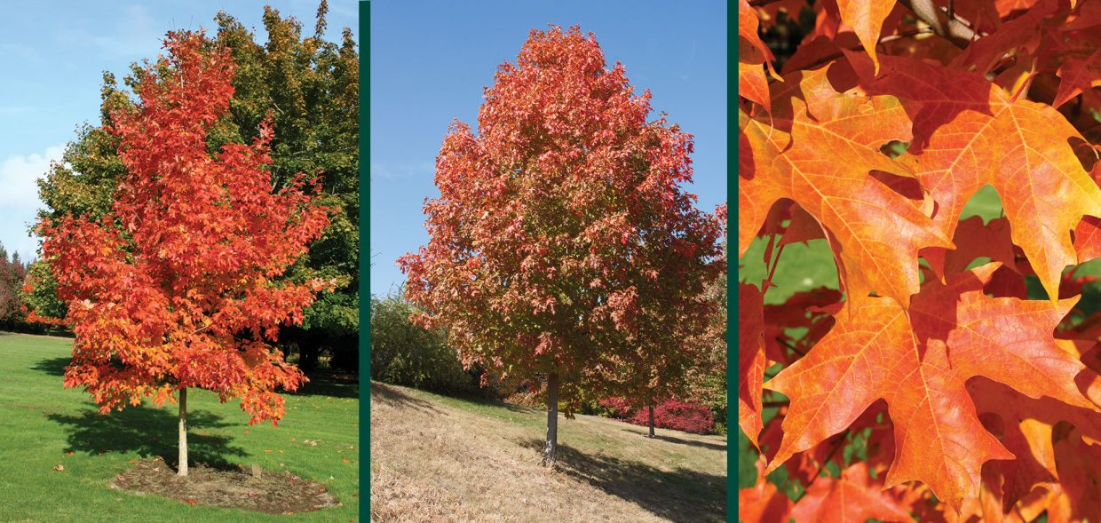 fall fiesta sugar maple acer saccharum bailsta