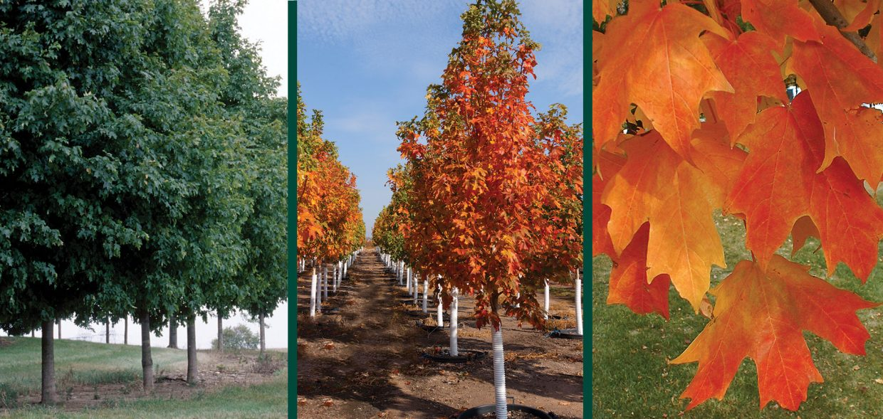 fall fiesta sugar maple acer saccharum bailsta1