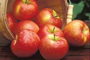 top selling best fruit tree honeycrisp apple malus domestica catalog