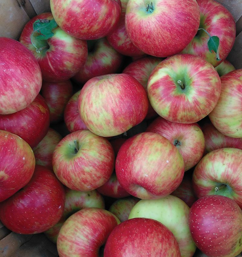 honeycrisp apple malus domestica ftimg