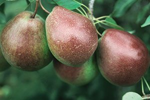 parker pear pyrus communis catalog