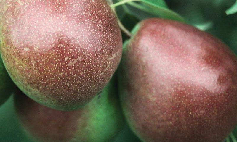 parker pear pyrus communis ftimg