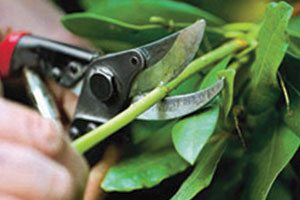 pruning your plants haircut heading thinning rejuvenative hedging shearing shrubs evergreens catalog