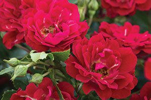 red drift rose rosa catalog