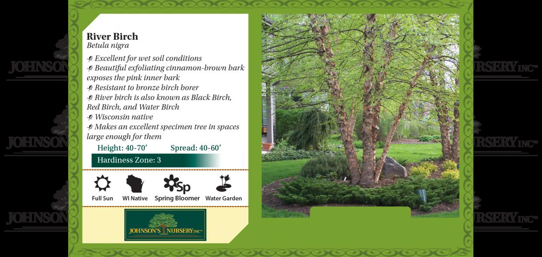 river birch betula nigra benchcard