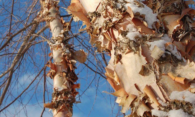 river birch betula nigra ftimg