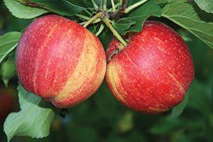 royal gala apple malus domestica catalog