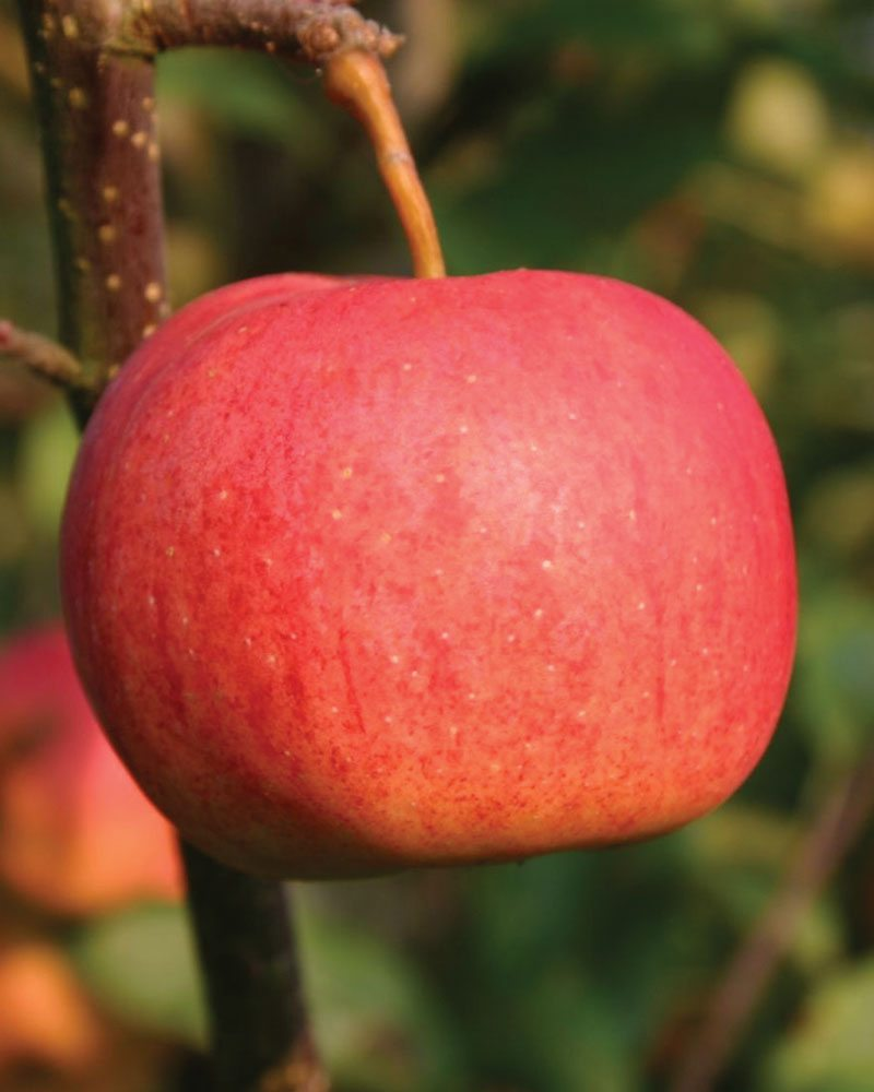 royal gala apple malus domestica ftimg