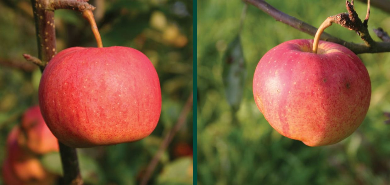 royal gala apple malus domestica