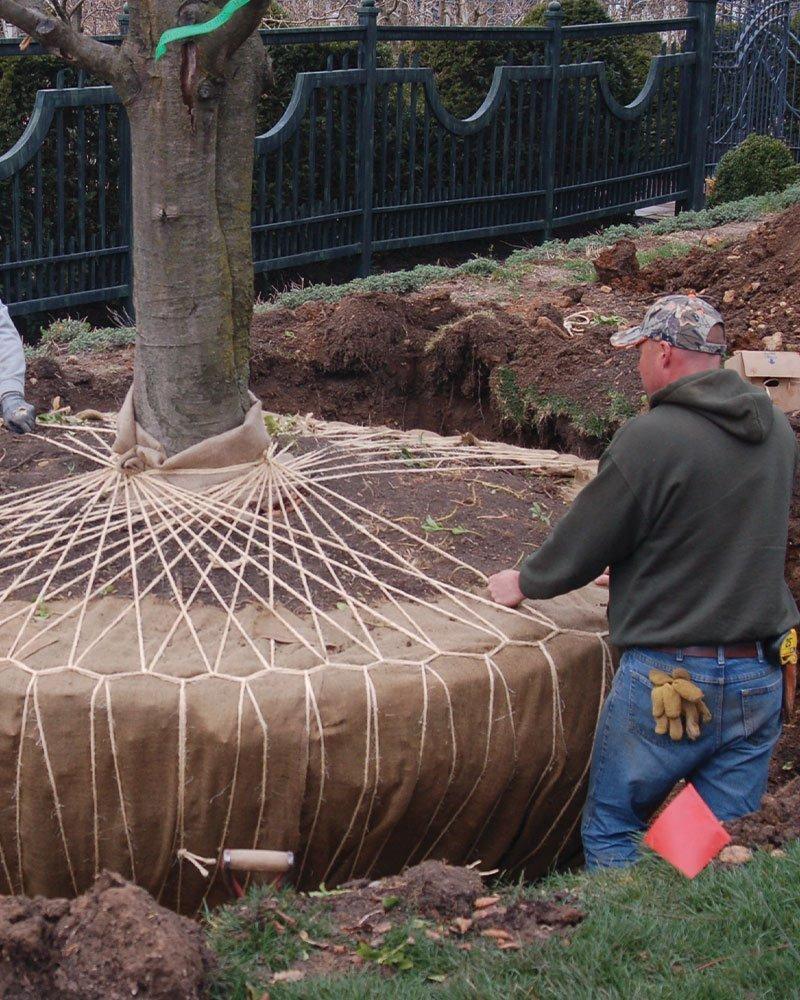 specimen high profile tree large big trees transplant johnson's nursery ftimg