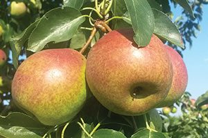 summercrisp pear pyrus catalog
