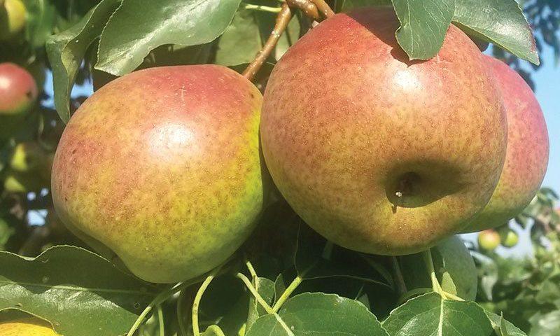 summercrisp pear pyrus ftimg