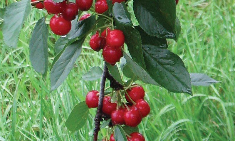sweet cherry pie prunus cerasus eubank ftimg