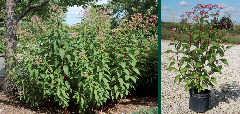 big perennials eupatorium maculatum gateway joe pye weed