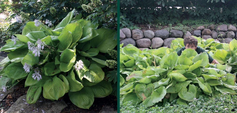 big perennials hosta sum and substance