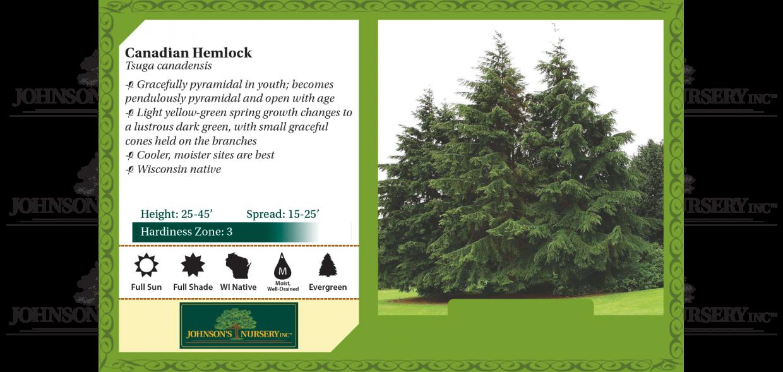 canadian hemlock tsuga canadensis eastern hemlock hemlock spruce evergreen benchcard