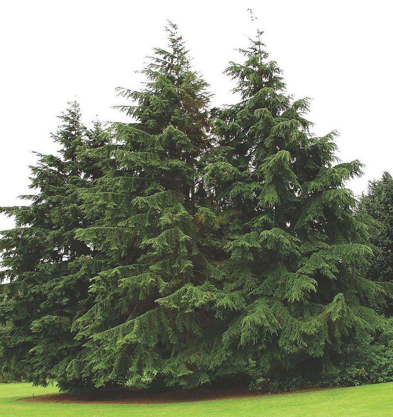 canadian hemlock tsuga canadensis eastern hemlock hemlock spruce evergreen ftimg