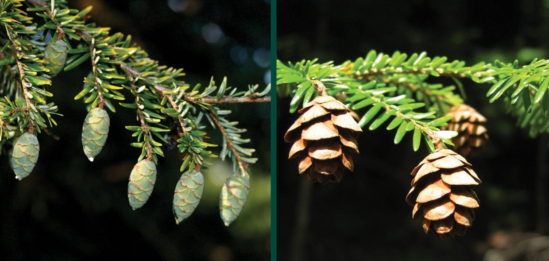 canadian hemlock tsuga canadensis eastern hemlock hemlock spruce evergreen