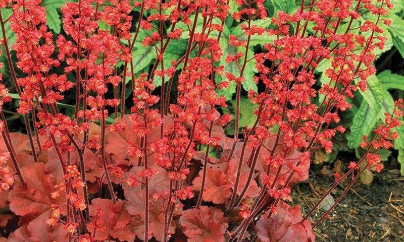 cherry cola coralbells coral bells heuchera ftimg