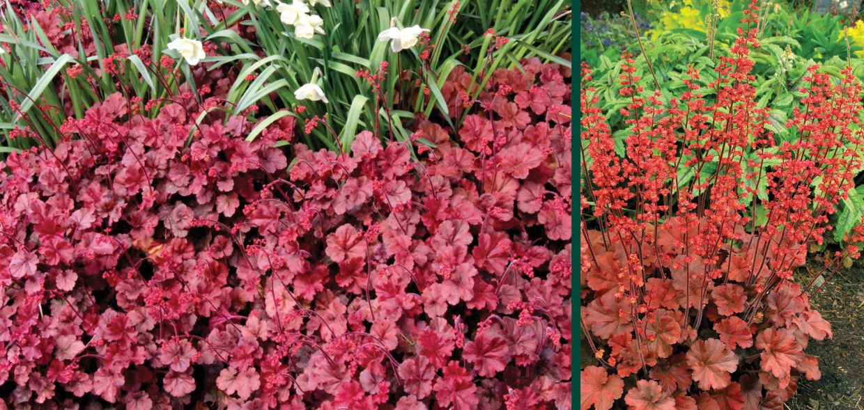 cherry cola coralbells coral bells heuchera milwaukee