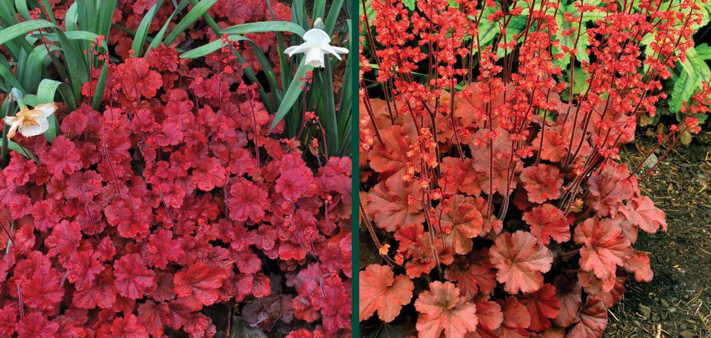 cherry cola coralbells coral bells heuchera waukesha