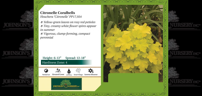 citronelle coral bells coralbells heuchera benchcard