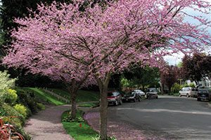 top selling trees eastern redbud cercis canadensis catalog