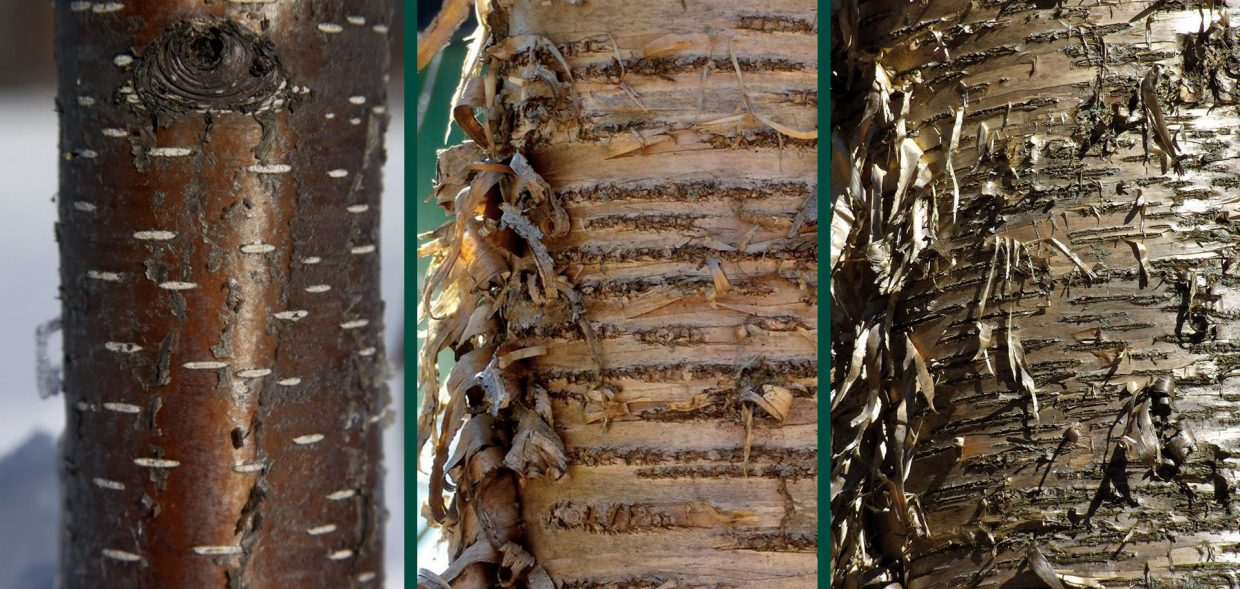 metal trees yellow birch betula alleghaniensis bark comparison