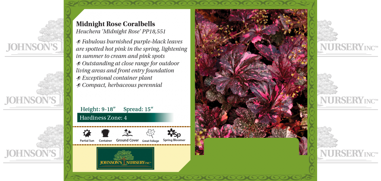 midnight rose coralbells coral bells heuchera benchcard