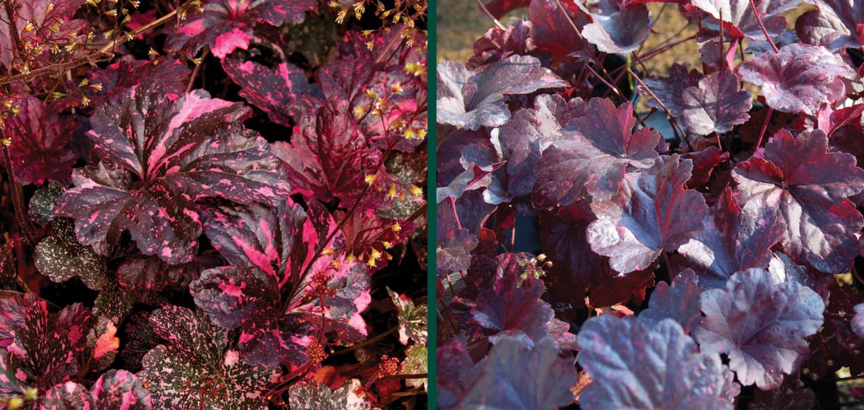 midnight rose coralbells coral bells heuchera milwaukee