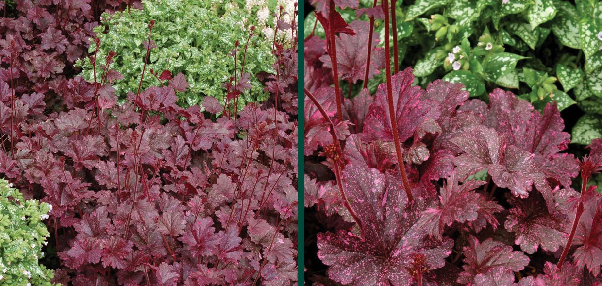 midnight rose coralbells coral bells heuchera waukesha