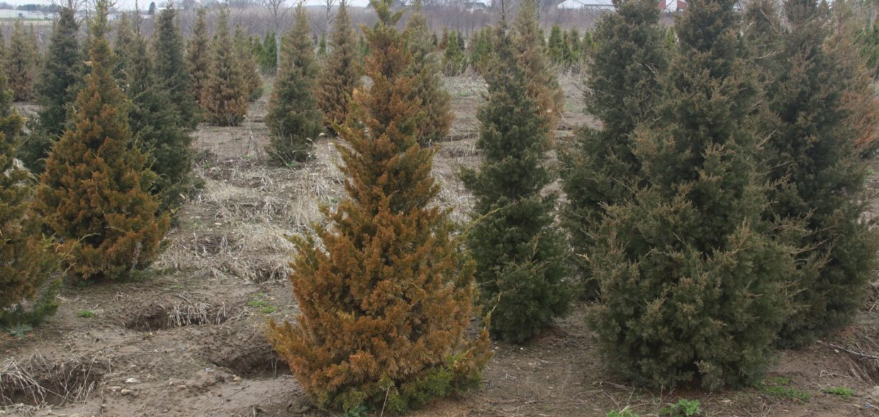 milwaukee browning evergreens canaertii juniper juniperus virginiana hillii winter damage burn comparison