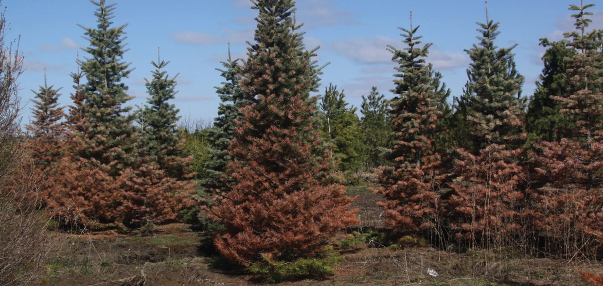milwaukee browning evergreens concolor winter damage burned