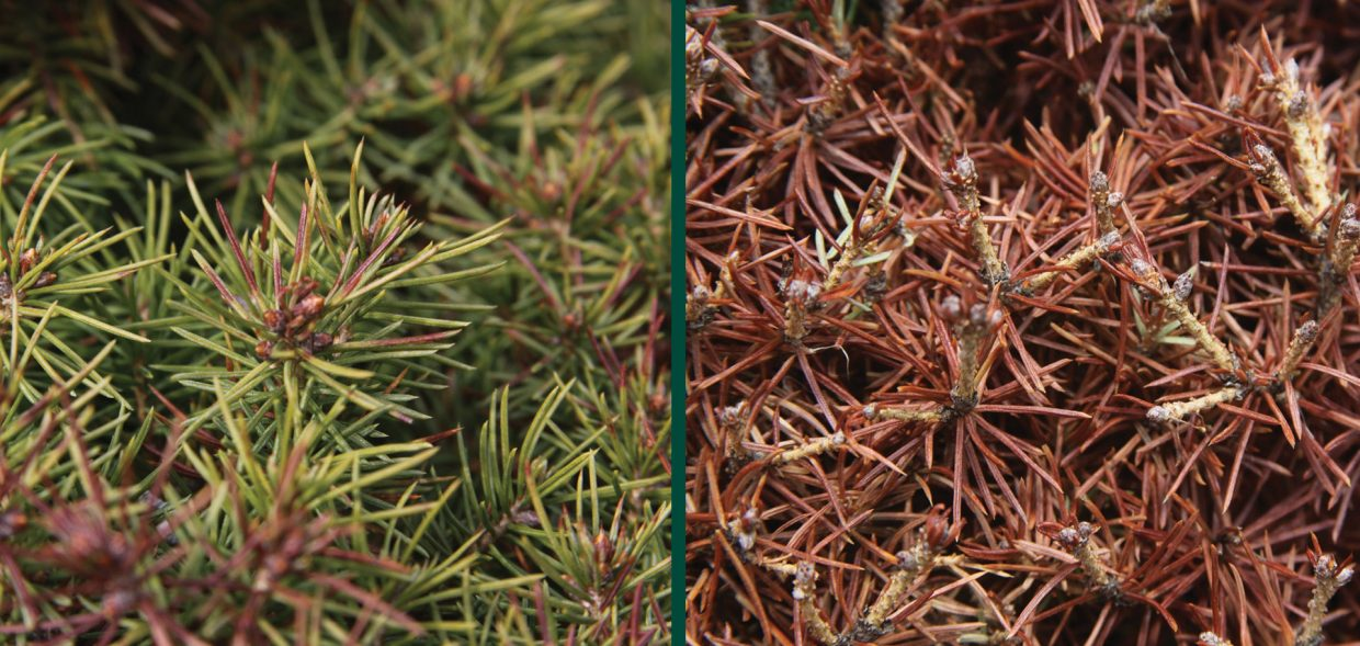 milwaukee browning evergreens spruce picea winter damage burn buds dwarf alberta spruce picea glauca conica