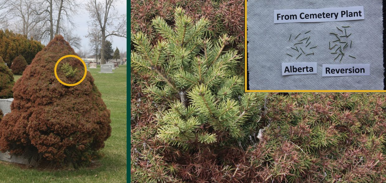 milwaukee browning evergreens spruce picea winter damage burn reversion dwarf alberta spruce picea glauca conica