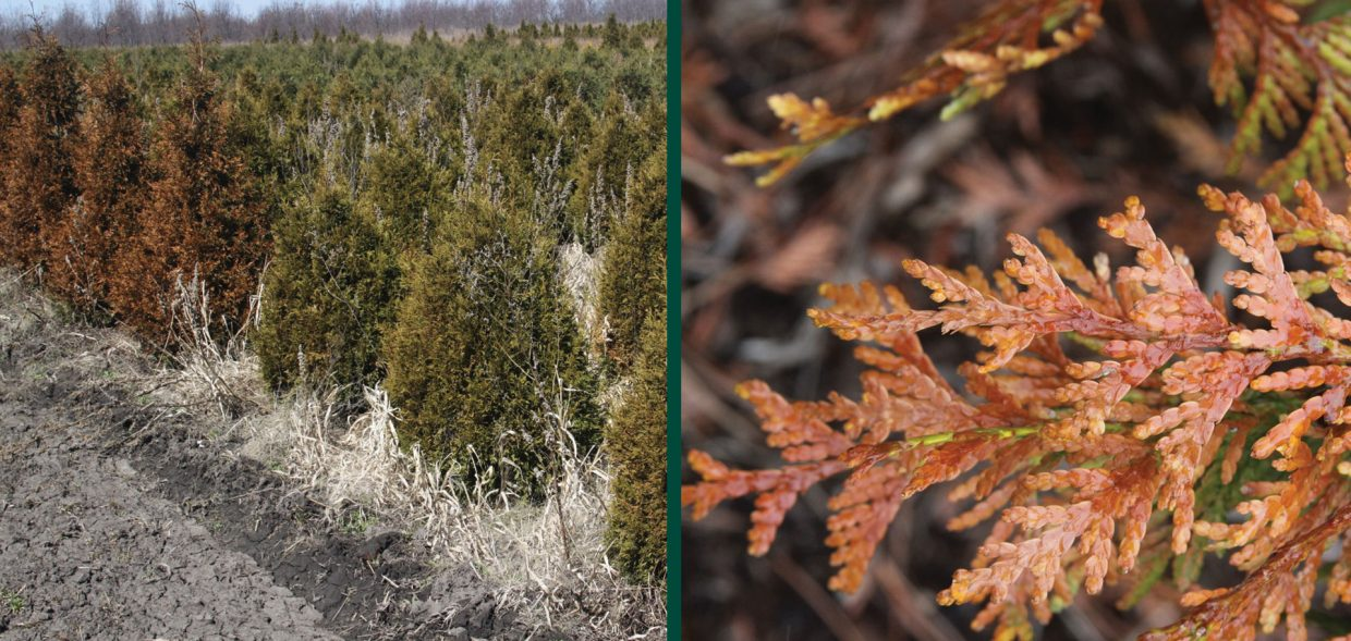 milwaukee browning evergreens thuja plicata uw excelsa comparison winter damage burn