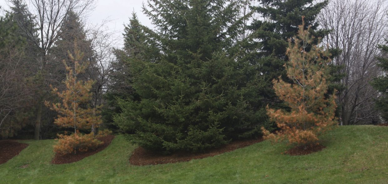 milwaukee browning evergreens white pine abies winter damage salt spray