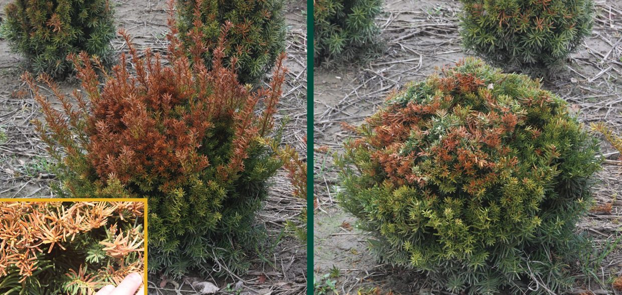 milwaukee browning evergreens yew taxus winter damage burn pruning
