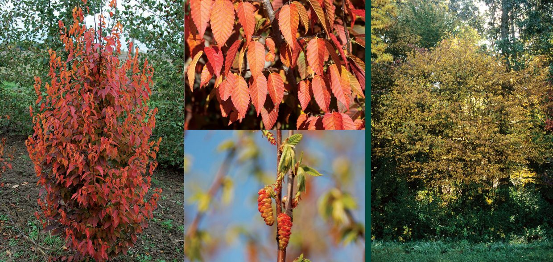 nativars in landscaping firespire musclewood carpinus caroliniana