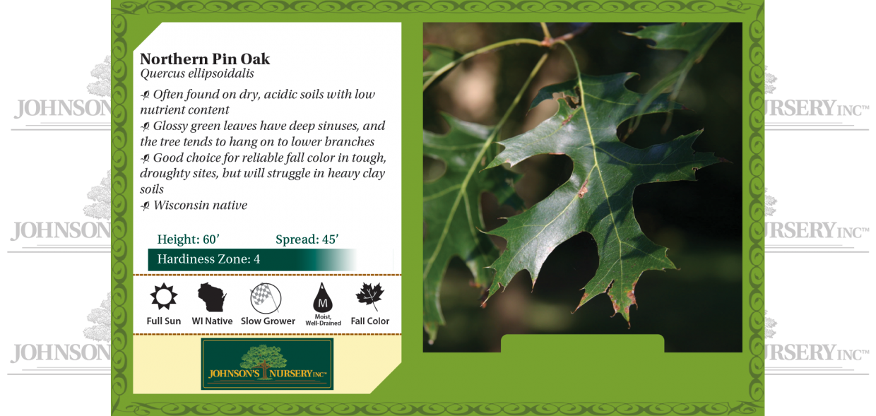 northern pin oak quercus ellipsoidalis benchcard