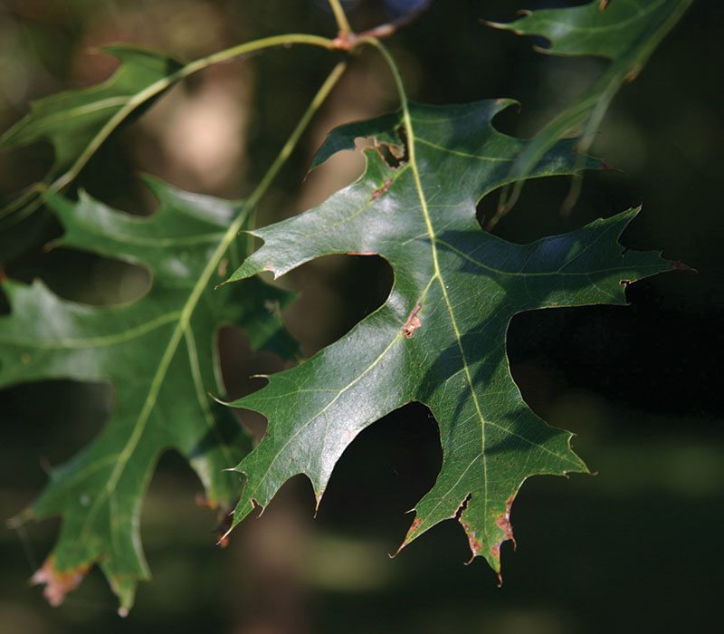 northern pin oak quercus ellipsoidalis ftimg