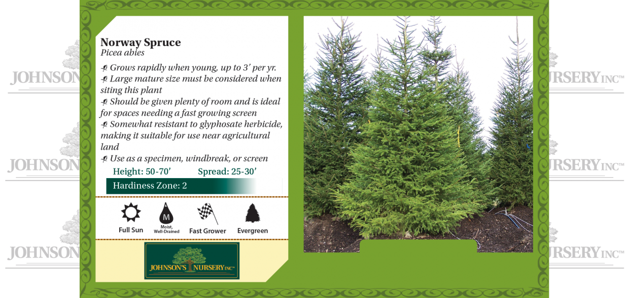 Norway Spruce Picea abies benchcard