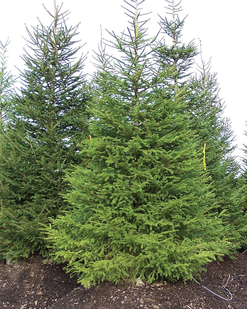 norway spruce picea abies ftimg