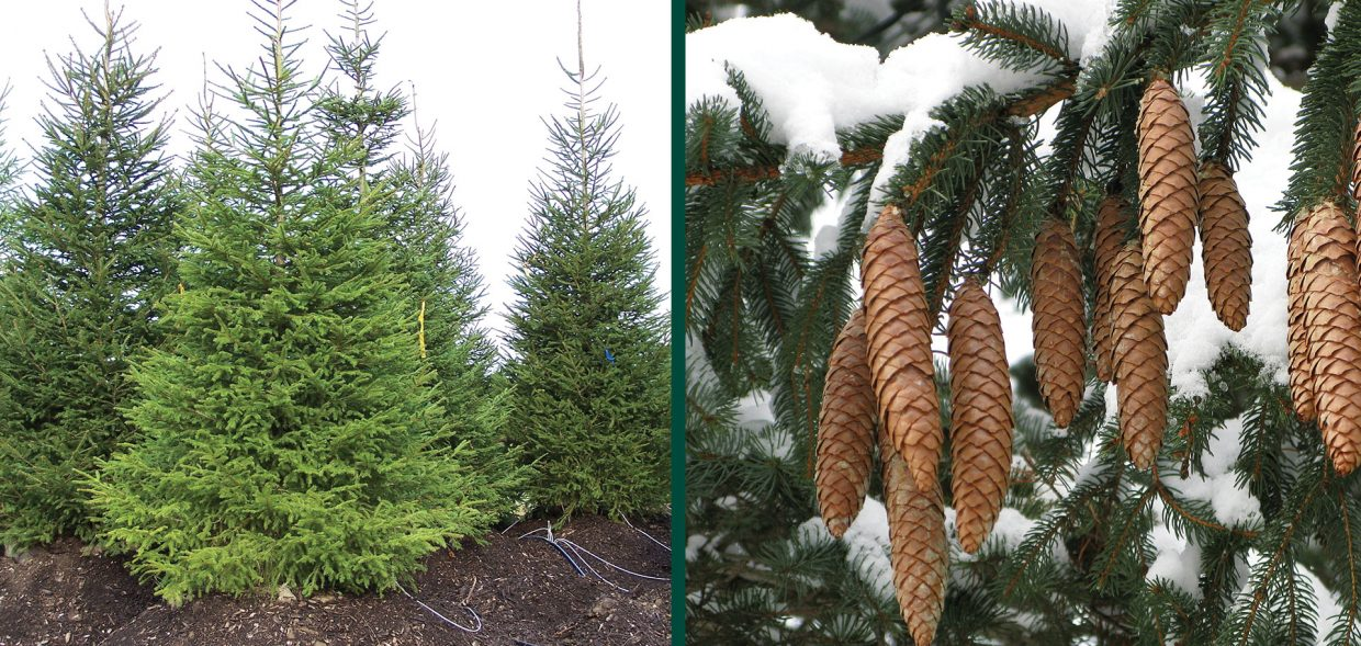 norway spruce picea abies milwaukee
