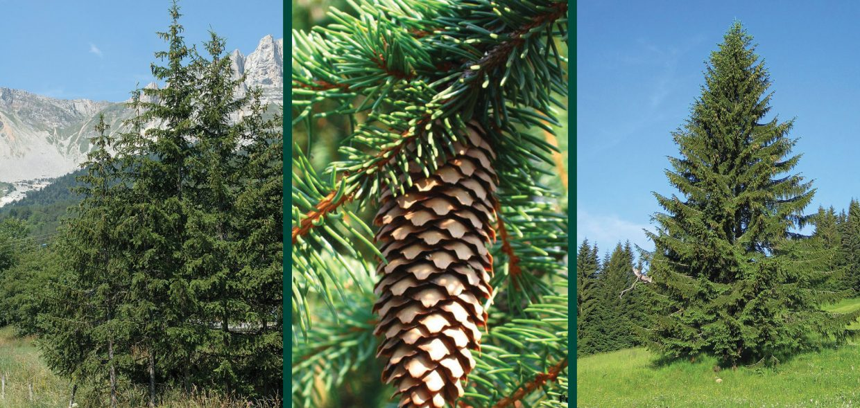 norway spruce picea abies waukesha
