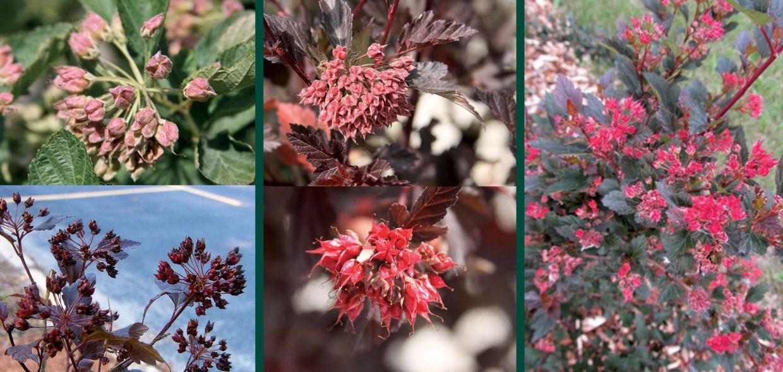 physocarpus fruit color comparison diabolo center glow little devil